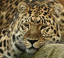 Relaxing Leopard by Mark Hughes