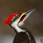 Pileated Portrait by Heather Pickard