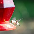 Thirsty Hummingbird by KevinsView