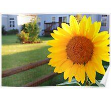 Illinois Sunflowers Poster