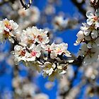 Almond Blossom by phseven