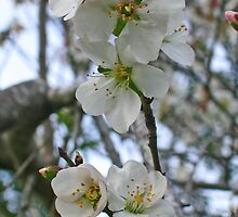 Blossoming of Almond by Nira Dabush