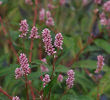 Long- bristled Smartweed - Polygonum caespitosum  by Tracy Wazny