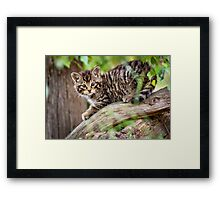 Tiger in a Tree Framed Print