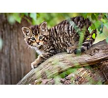 Tiger in a Tree Photographic Print