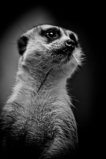Meerkat doing his best Rudolph Valentino by alan shapiro
