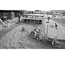 Bear Creek Saloon & Steakhouse, Montana Pig Races Photographic Print