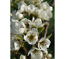 Blossoming Pears Photographic Print