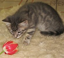 Kitten Investigating a Red Tulip by Margaret Donsbach