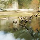 canadian geese by LeeDukes