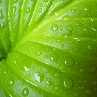 Hosta Leaf by Silvianna DiSalvo