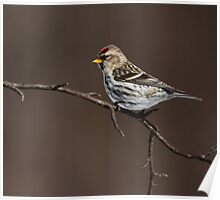 Today's Forecast: Sunny with Periods of Redpolls Poster