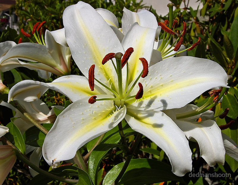 i am lily hear me roar! by dedmanshootn