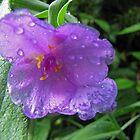 Spiderwort by gelillc