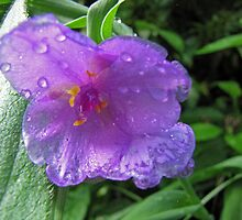 Spiderwort by gelillc