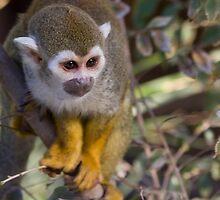 Squirrel Monkey by Sue  Cullumber