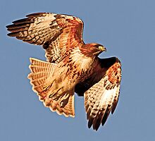 010711 Red Tailed Hawk by Marvin Collins