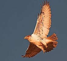 010411 Ferruginous Hawk by Marvin Collins