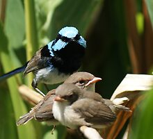 Superb Blue Wren and young by BronReid
