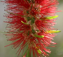 Bottle brush tree by John Dalkin