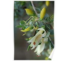 Native Fuschia in soft yellow Poster
