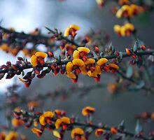Native Pea Flower by Lozzar Flowers & Art