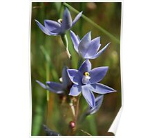 Native Sun Orchid Poster