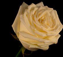 Wet white rose II by Angel1965