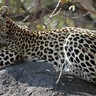 Leopard on the koppie by jozi1