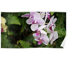 White and Pink Orchid (Photo) Poster