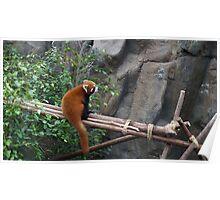Gorgeous red panda Poster