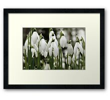 Woodland Whites ~ Snowdrops  Framed Print