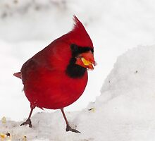 This Cracked Corn is Just Delicious (Northern Cardinal) by Robert Miesner