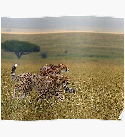 Cheetahs on Holiday Poster