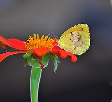 Sleepy Orange Sulphur Butterfly on Mexican Sunflower by scw1217