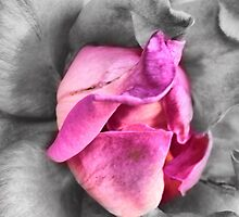 colour select rose by Janis Read-Walters
