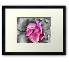colour select rose Framed Print