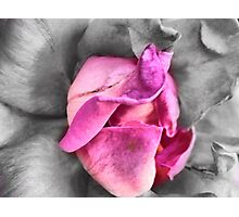 colour select rose Photographic Print