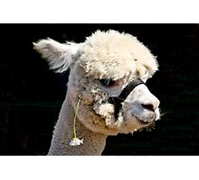 White Alpaca Photographic Print
