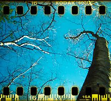 Walden Trees III - Concord , MA by abraxisdesign