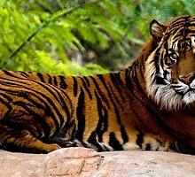 Lounging Tiger (Panthera tigris) by Maria A. Barnowl