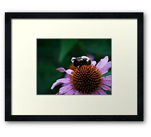 Bumble Bee on Cone Flower Framed Print