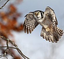 Float Like A Butterfly  Sting Like A Hawk / Northern Hawk Owl by Gary Fairhead