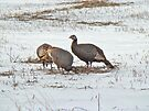 Wild Turkey (Meleagris gallopavo) in Snowy Field by MotherNature