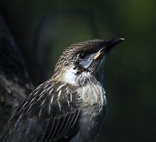 juvenile wattlebird by col hellmuth