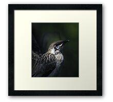 juvenile wattlebird Framed Print
