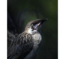 juvenile wattlebird Photographic Print
