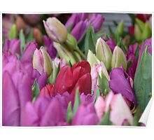 Multi-colored Tulips Poster