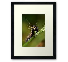 Cinnabar Moth Caterpillar Framed Print
