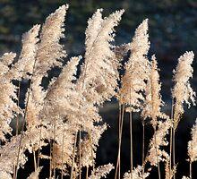 reeds in light by Joeblack